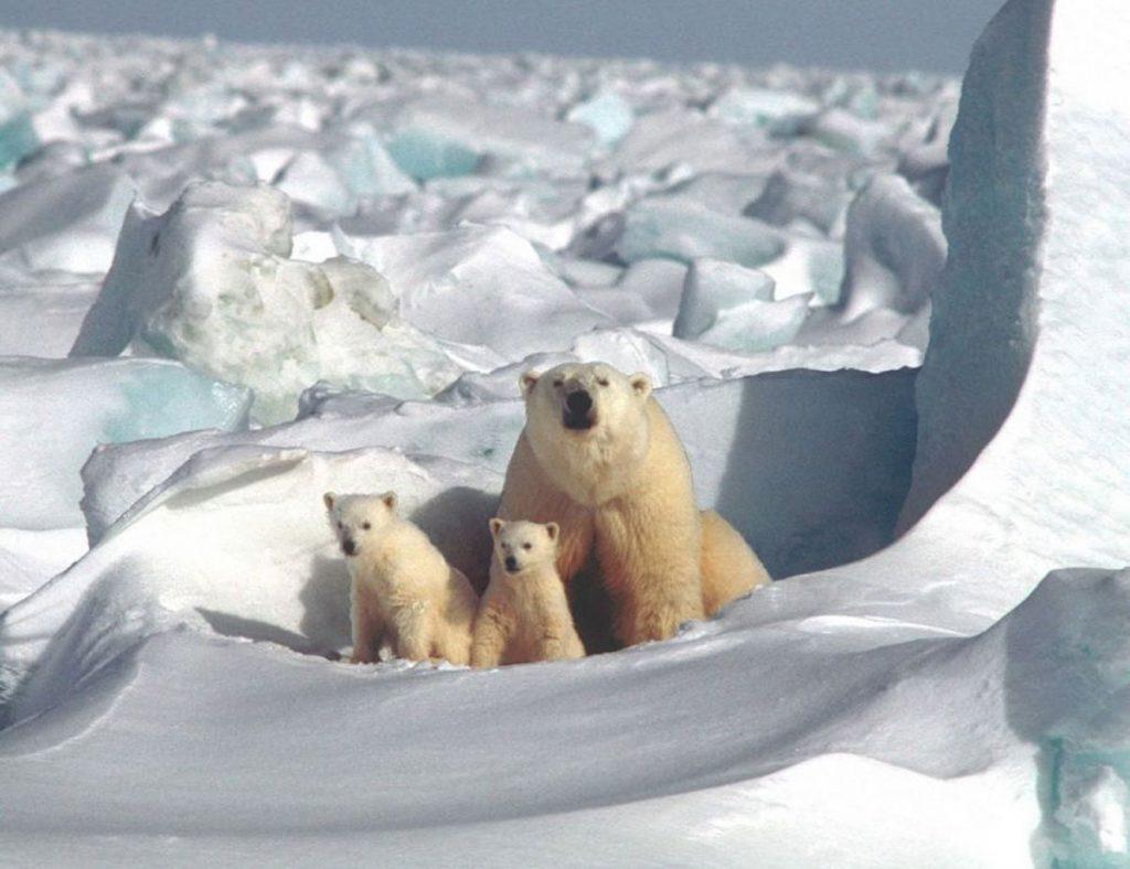 Eisbären, das Thema des diesjährigen Malwettbewerbs | Quelle: KMA e.V.