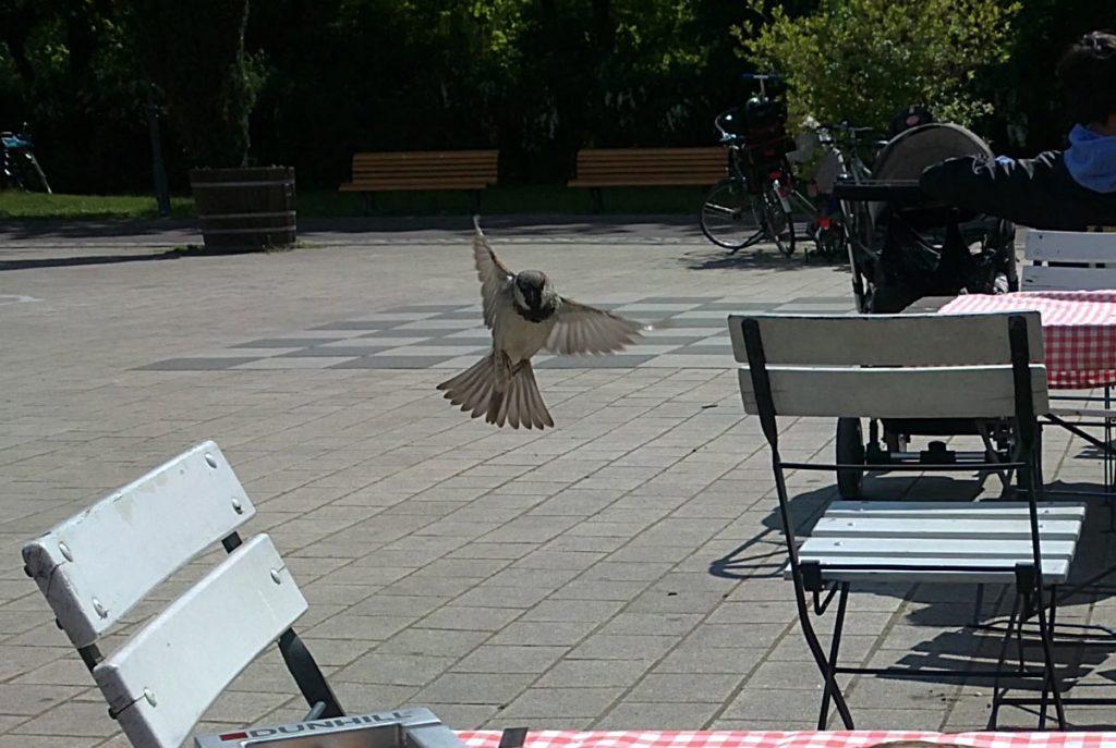 Spatzen suchen sich Eßbares in den Cafés in Friedrichshain